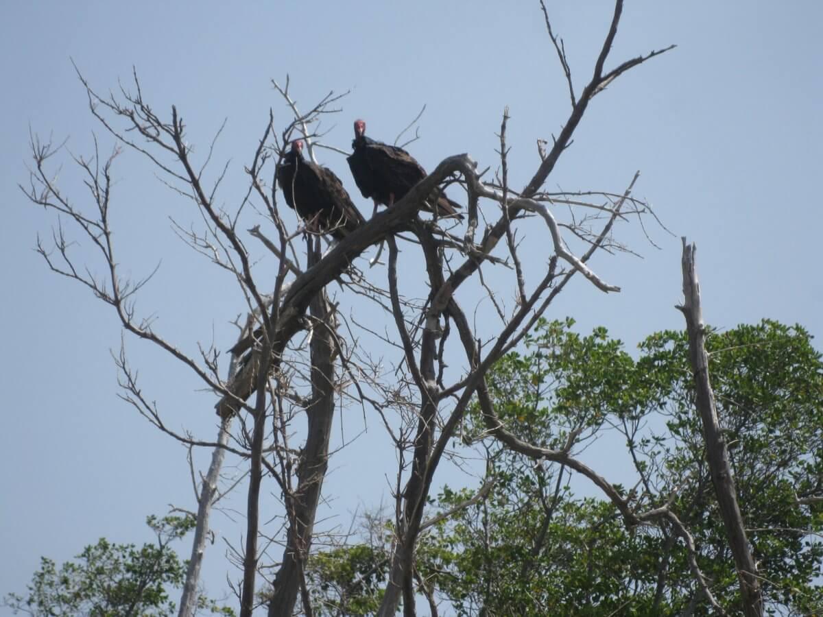 John Crow birds