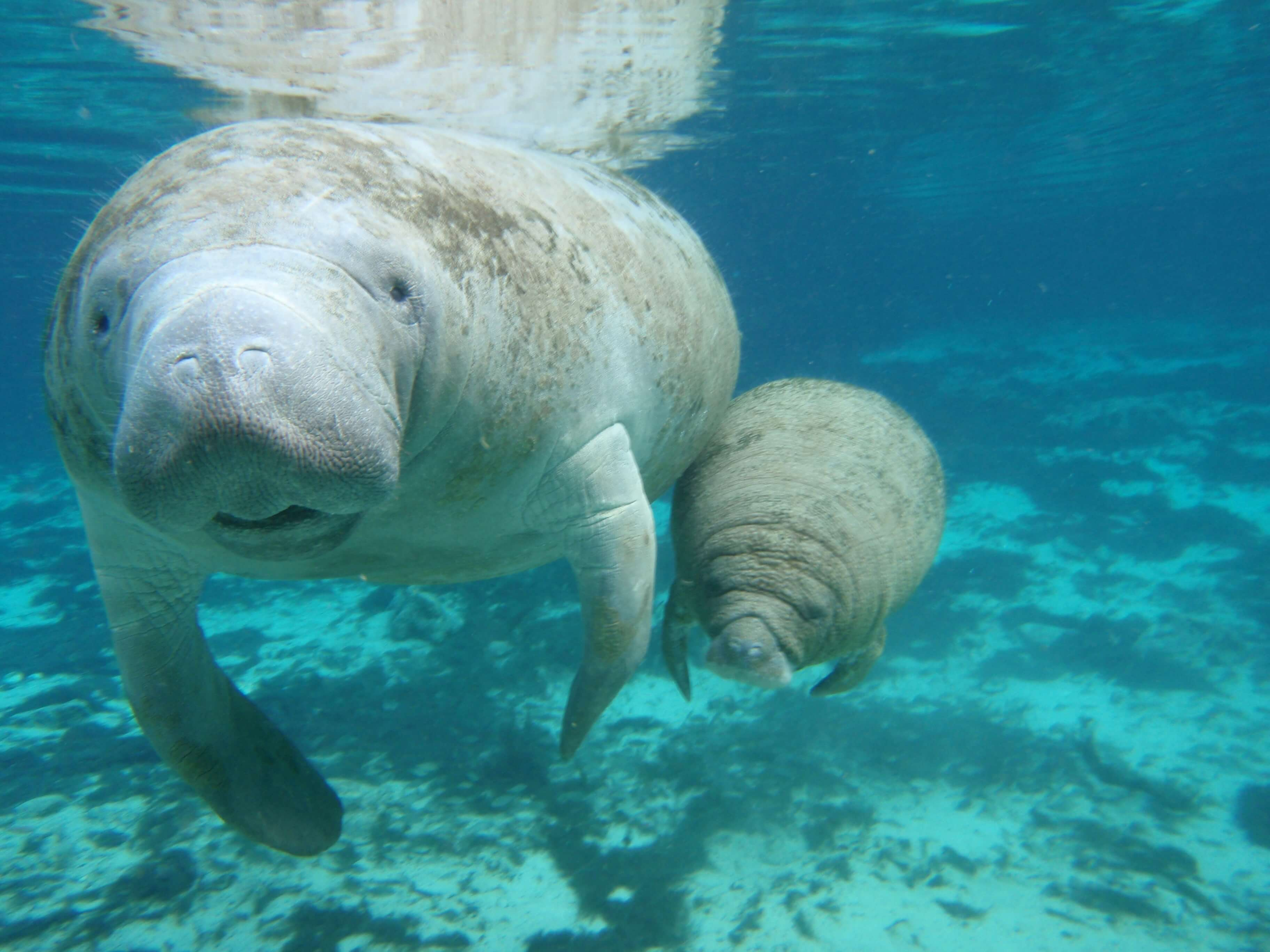 about manatees The perfect complement for your once in a lifetime experience is swimming with  the most chubby and adorable marine species ever, manatees the experience.